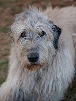150-2014-IrishWolfhound